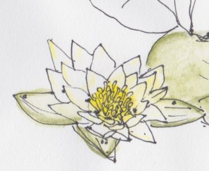 Northland lotus
